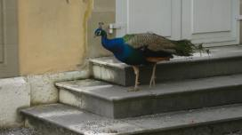 A roaming peacock at the CJBG © montblancfamilyfun
