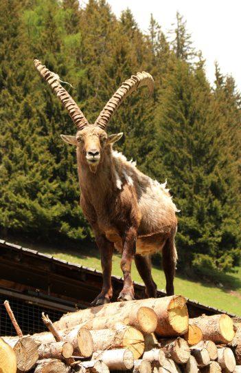 Le Parc Animalier de Merlet - Françcois, the confident bouquetin © montblancfamilyfun.com