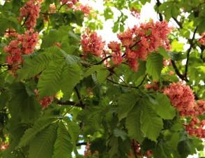 Lesc hâtaignes in bloom in Sallanches © montblancfamilyfun.com