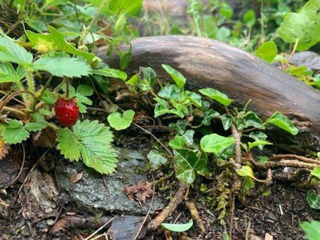 Les Gorges de la Diosaz - wild strawberries!© Jonty Keightly