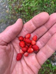 Les Gorges de la Diosaz - wild strawberries! © Jonty Keightly