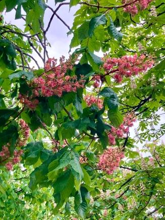 Les marronniers in bloom in Sallanches © montblancfamilyfun.com