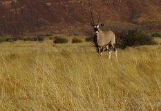 An oryx in Damaraland (Namibia) © montblancfamilyfun.com