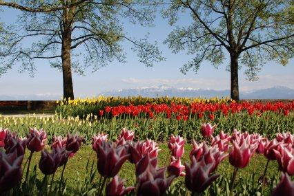 «Fête de la Tulipe» 1er prix Tulipe Vanessa Hermann © morges.com