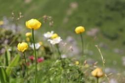 Wild flowers on the path down to Doran Refuge, Sallanches © montblancfamilyfun.com