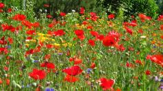 Wild flowers near the Salle Léon Curral in Sallanches © montblancfamilyfun.com