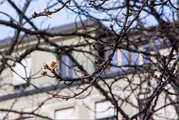 Marronnier de la Treille © Ville de Genève