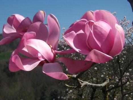 Magnolia trees at Arboretum Vallon d'Aubonne © montblancfamilyfun.com