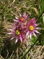 Wild flowers La Thuile © montblancfamilyfun.com