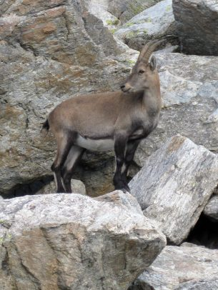 An ibex (bouquetin) at Lac Cornu, Chamonix montblancfamilyfun.com