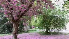 Springtime petal carpet @ CJBG