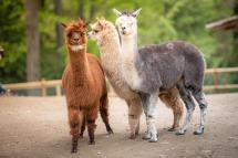 Parco della Villa Pallavicino - Alpaca World! © Parco della Villa Pallavicino