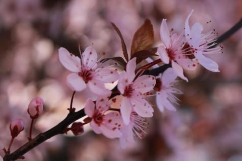 Sallanches spring blossoms © montblancfamilyfun.com