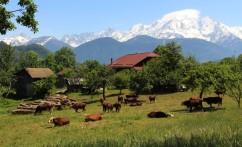 Cows grazing Bois de Fessy © montblancfamilyfun.com