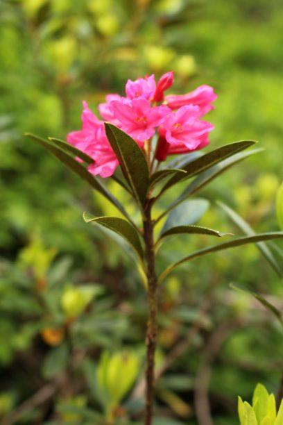 La Cascade de Bérard hike - rhododendrons © montblancfamilyfun.com