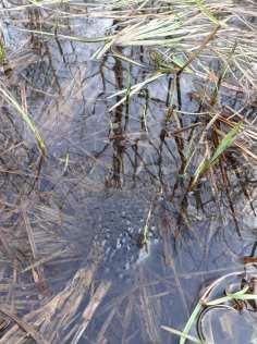 Springtime frog spawn © La Réserve Naturelle du Bout-du-Lac (Doussard)
