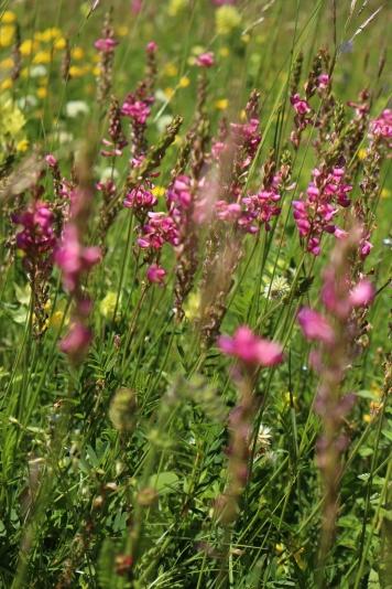 Beautiful alpine flowers on the Salève © montblancfamilyfun.com